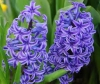 Hyacinth Incense from Mt. Athos
